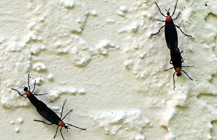 It's that time of the year again. Love bugs are filling the air in the Lowcountry. ESPB photo