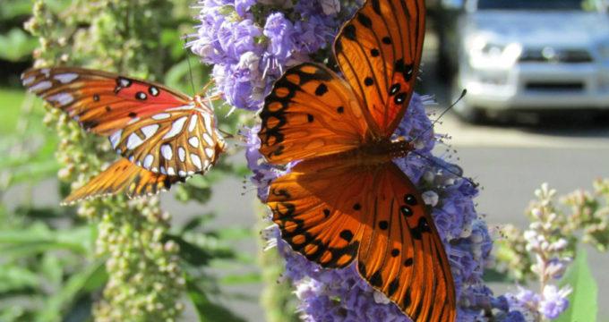 monarch333