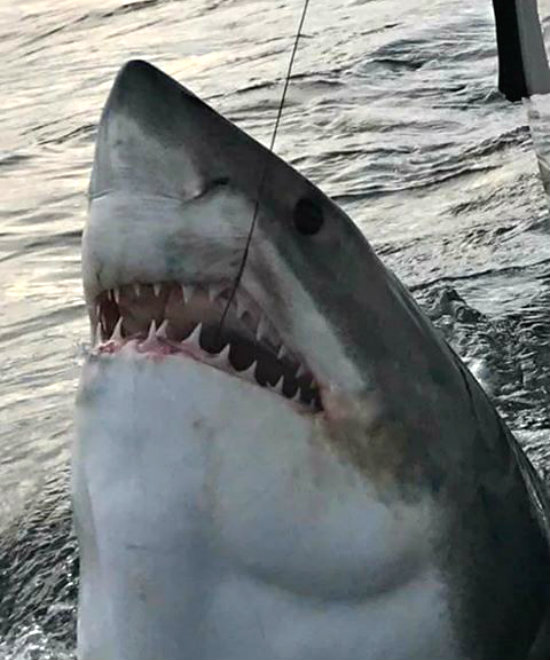 Another great white caught and tagged off of beaufort coast for Outcast sport fishing