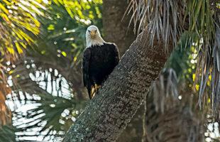 national bald eagle month