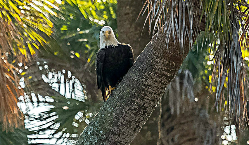January Is National Bald Eagle Watch Month Community