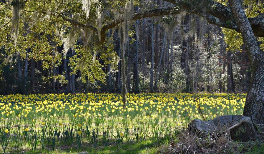 merrick's u pick daffodil farm