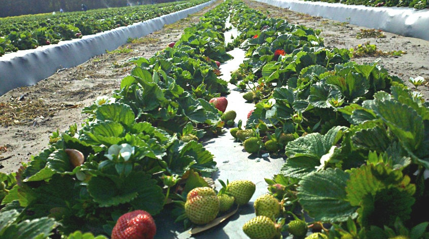 dempsey farms strawberries