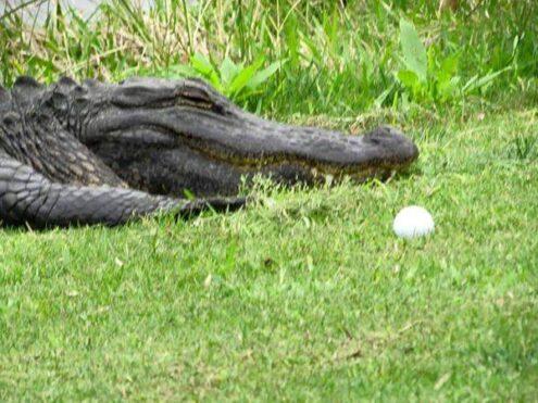 Lowcountry gators enjoy Springtime too