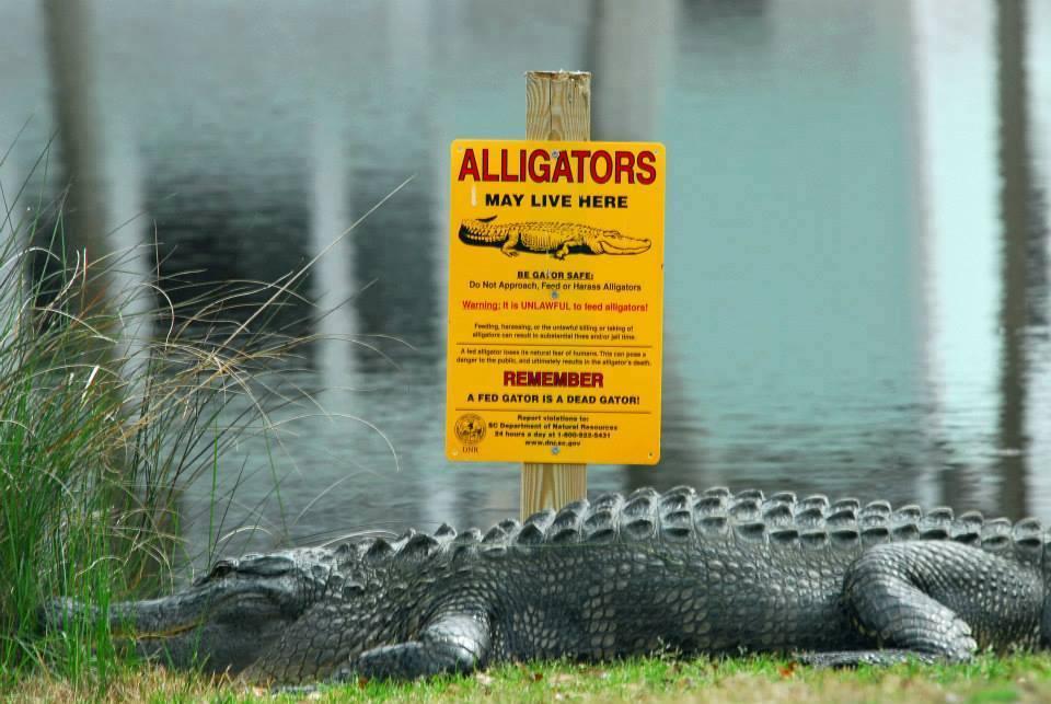 lowcountry gators