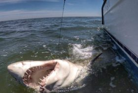 It's been said recently by scientists that due to the abundance of food available, Beaufort's waters are a hotbed for sharks. Photo courtesy Chip Michalove