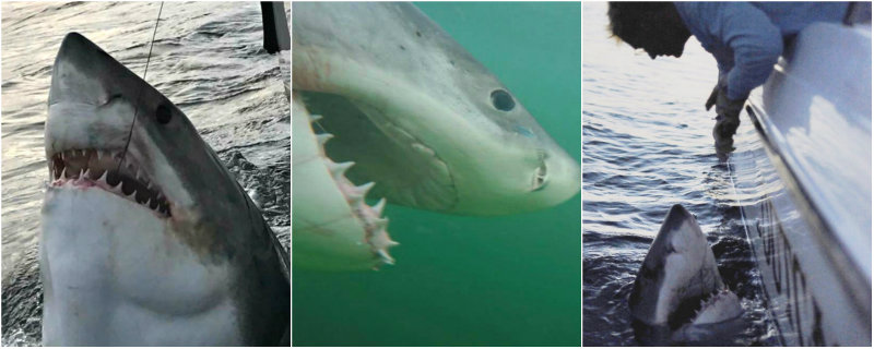 Outcast Sport Fishing has tagged and released several huge great white sharks over the past few seasons. Photos courtesy Chip Michalove