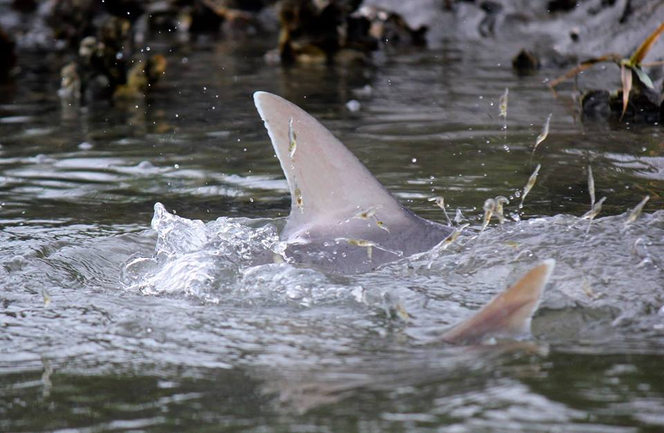 Local bonnethead sharks feed on shrimp in one of Beaufort's many creeks. Bonnethead sharks aren't typically aggressive to humans. Photo courtesy Kelley Luikey/Nature Muse Imagery