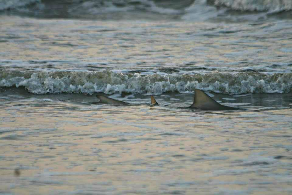 Smaller sharks patrol in about a foot of water along the surf at Fripp Island beach. Photo by Janie Lackman