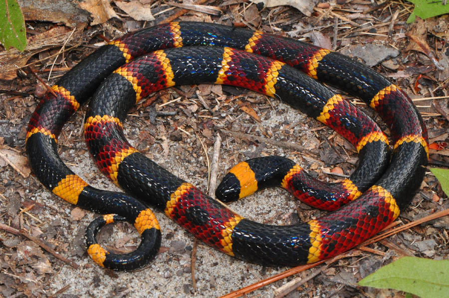Eastern coral snake photo courtesy ReptileFact.com