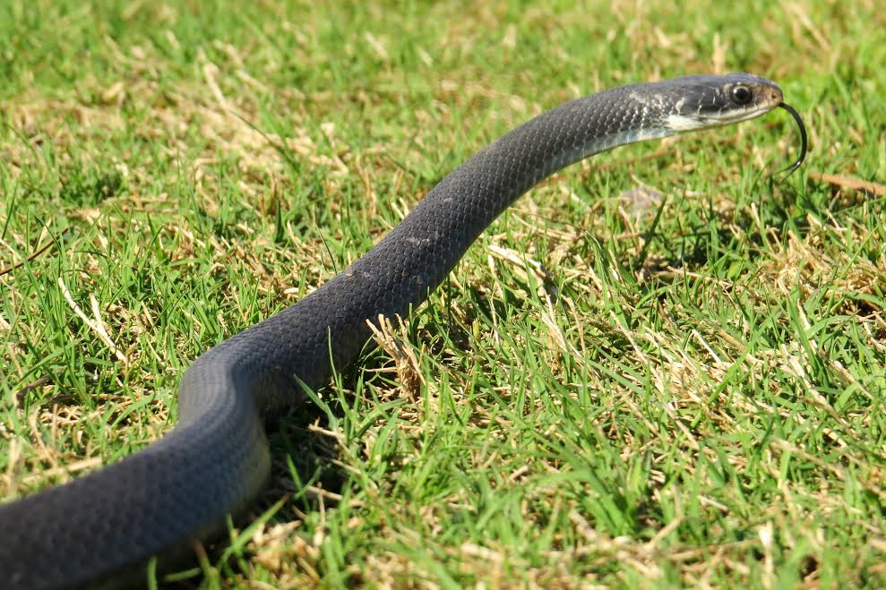 Black racer photo taken by Jessica Miller