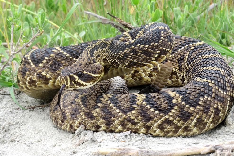 Diamondback rattlesnake photo taken by Jessica Miller