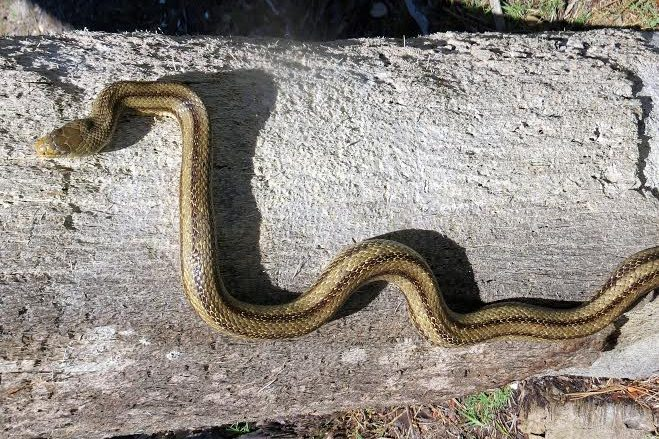 Yellow rat snake photo taken by Jessica MIller