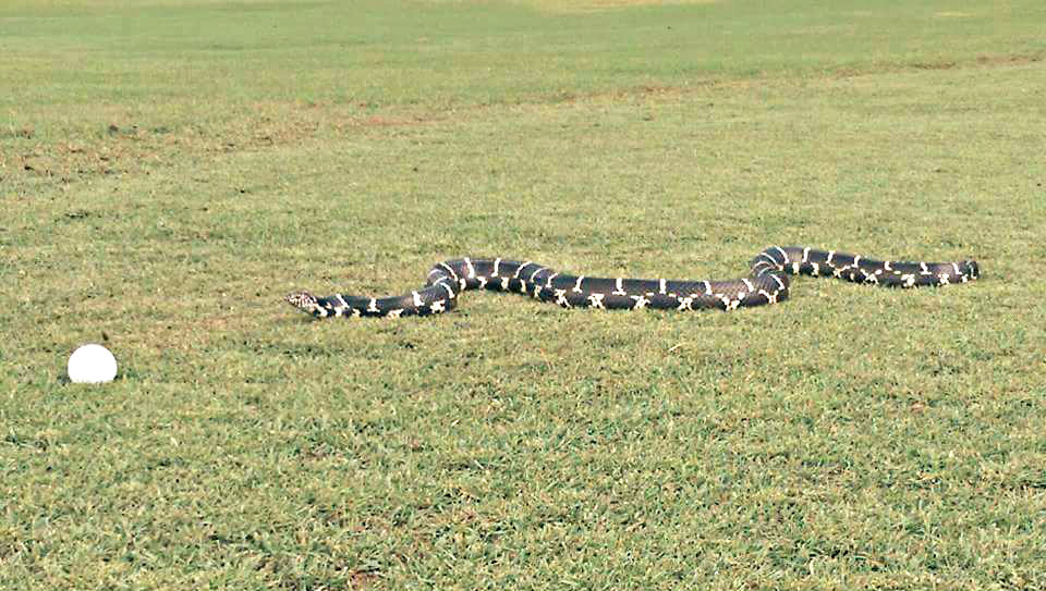 An Eastern King Snake hurries across the green at the golf course on Fripp Island. Photo courtesy VW Scheich