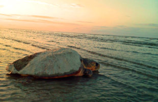 Fripp Island sees near-record sea turtle nesting season