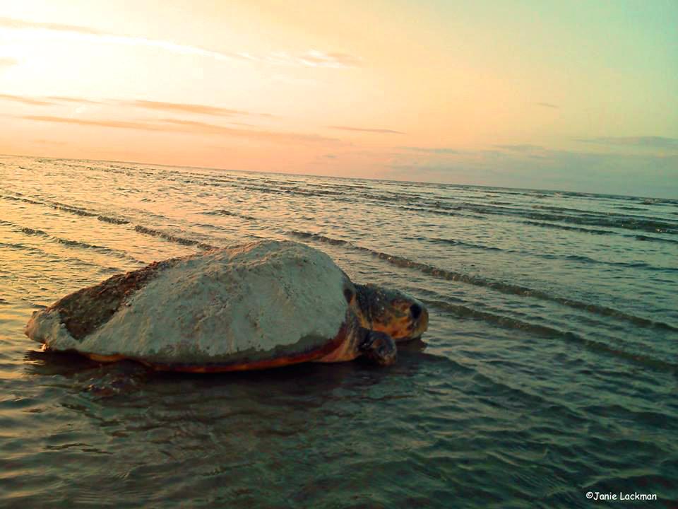 Fripp Island sees near-record sea turtle nesting season