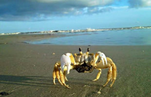 A ghost crab says good morning along the beach at Fripp Island.  Photo by Janie Lackman