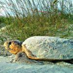 South Carolina sees fantastic 2017 turtle nesting season