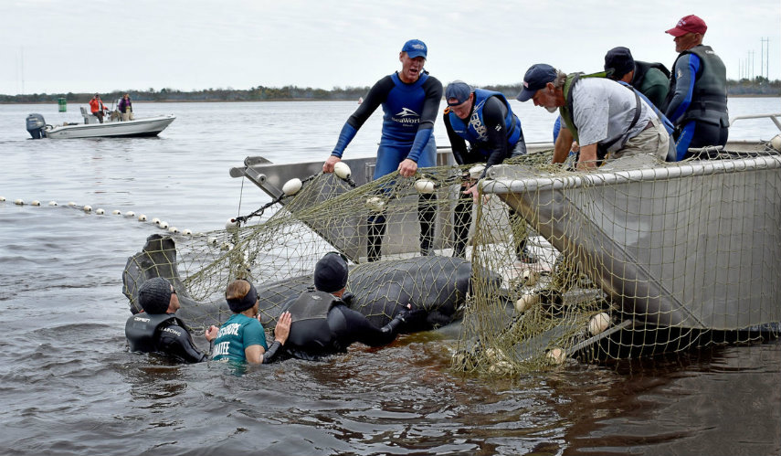 ten manatees rescued lowcountry