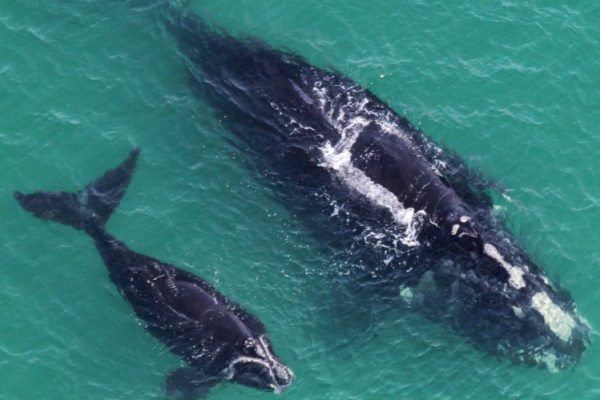right whales beaufort coast