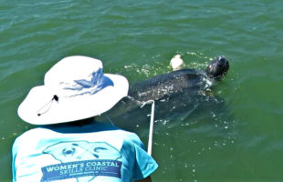 leatheback sea turtle rescued