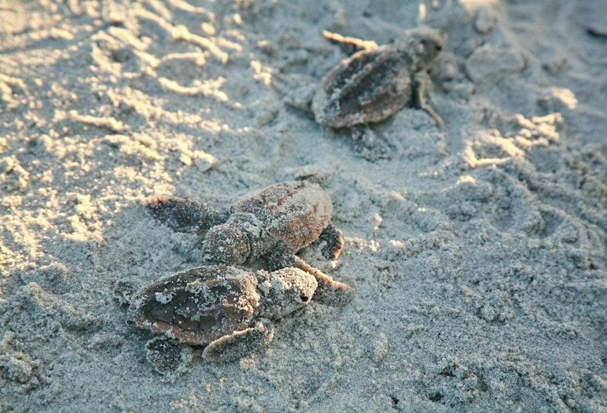 A weekend walk with the Fripp Island Turtle Patrol
