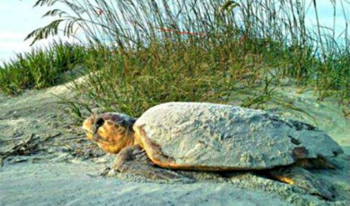 loggerhead turtle facts
