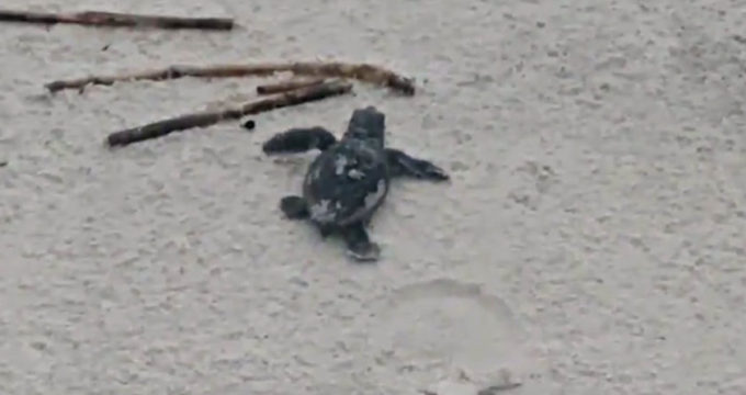 sea turtle hunting island