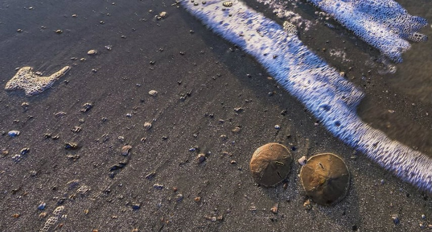 Don't be cruel: Leave Live Sand Dollars at the Beach