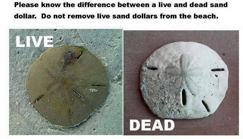 Don T Be Cruel Leave Live Sand Dollars At The Beach Eat Stay Play Beaufort Guide