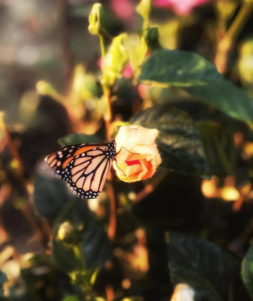 Monarch Butterfly Photo by Beaufort, SC Local Photographer, Julie Garrison