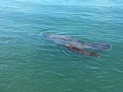 Gentle Giants Are Returning to Coastal Waters... Be Particularly Alert While Boating!