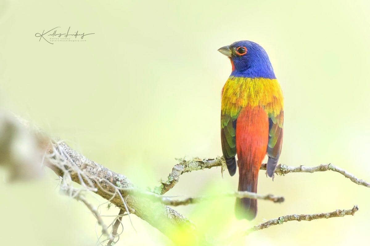 Painted Bunting - Photo by Kelley Luikey at Nature Muse Imagery