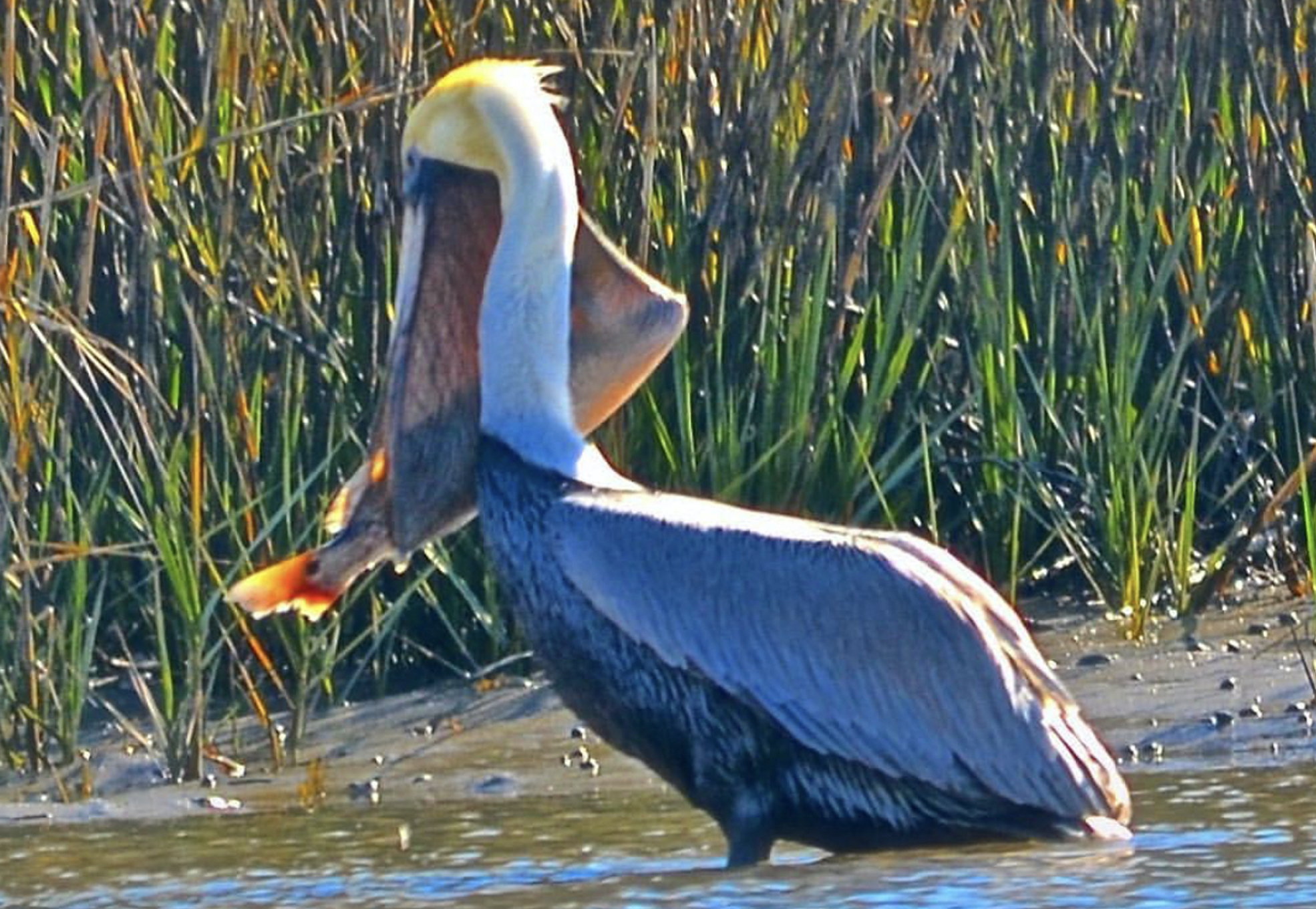 The Original High Divers, the Brown Pelican