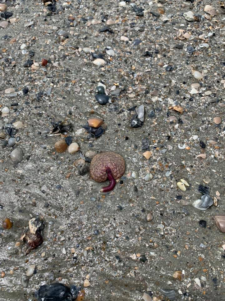 Sea Pansy found on Hunting Island Beach