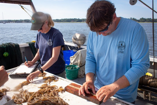 SCDNR biologists study shrimp